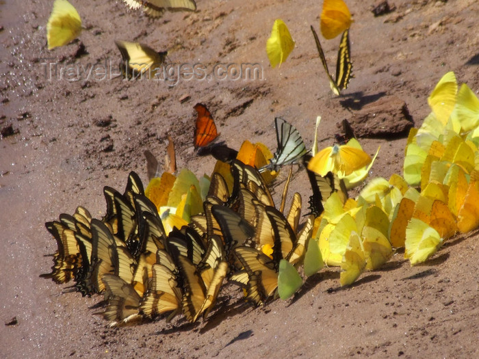 argentina215: Argentina - Iguazu Falls - butterflies at a salt lick - images of South America by M.Bergsma - (c) Travel-Images.com - Stock Photography agency - Image Bank