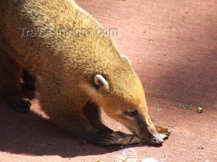 argentina230: Argentina - Iguazu Falls - Ring-tailed coati - Coatimundi - hog-nosed coon - Nasua nasua - images of South America by M.Bergsma - (c) Travel-Images.com - Stock Photography agency - Image Bank