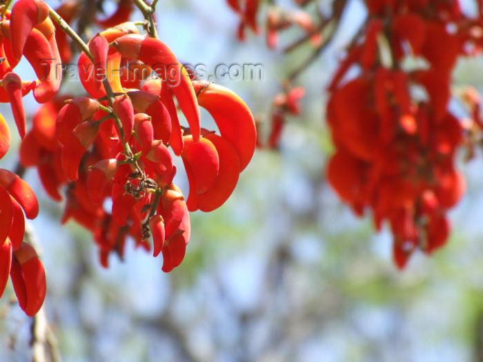 argentina267: Argentina - Salta - National flower of Argentina - the ceibo - Erythrina crista-galli -  Cerro San Bernardo - images of South America by M.Bergsma - (c) Travel-Images.com - Stock Photography agency - Image Bank
