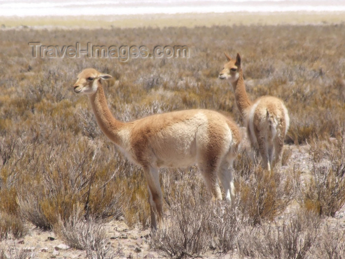 argentina290: Argentina - Salta province - Salinas Grandes - pair of Vicuñas  - Vicugna vicugna - Aregetinean fauna - images of South America by M.Bergsma - (c) Travel-Images.com - Stock Photography agency - Image Bank