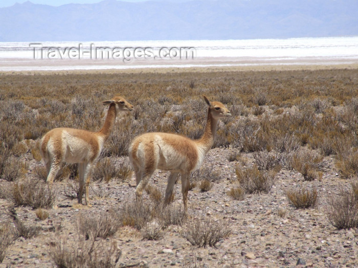 argentina291: Argentina - Salta province - Salinas Grandes - Vicuña - wild South American camelid - Vicugna vicugna - images of South America by M.Bergsma - (c) Travel-Images.com - Stock Photography agency - Image Bank