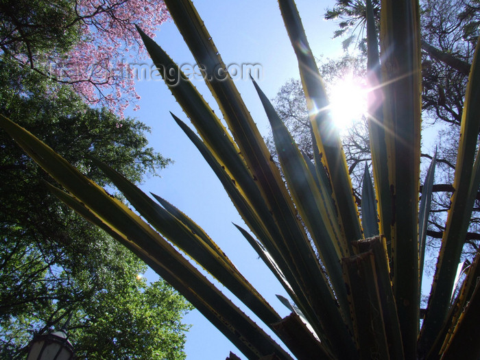 argentina302: Argentina - Buenos Aires - aloe - Jardin Botanico, Carlos Thays, Palermo - images of South America by M.Bergsma - (c) Travel-Images.com - Stock Photography agency - Image Bank