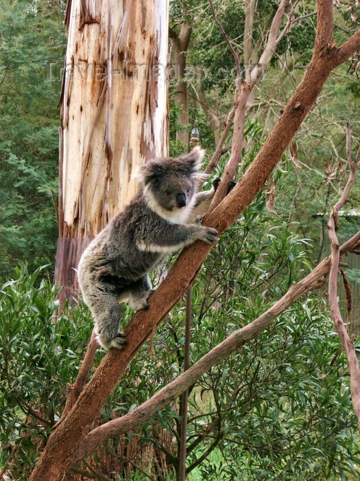 australia160: Australia - Koala climbing (Victoria) / coala - photo by Luca Dal Bo - (c) Travel-Images.com - Stock Photography agency - Image Bank