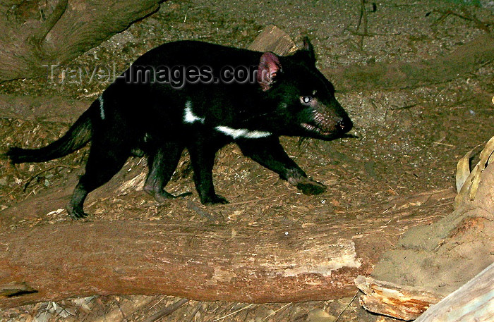 australia162: Australia - Tasmanian Devil (Victoria) - photo by Luca Dal Bo - (c) Travel-Images.com - Stock Photography agency - Image Bank