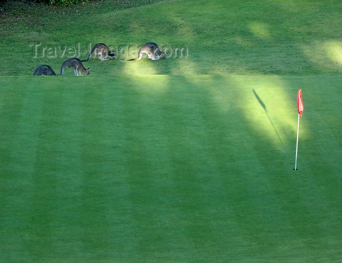 australia164: Australia - Kangaroos on a golf course (Victoria) - photo by Luca Dal Bo - (c) Travel-Images.com - Stock Photography agency - Image Bank