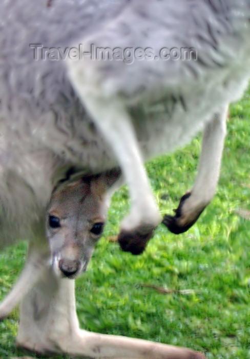 australia165: Australia - Baby Grey kangaroo (Victoria) - photo by Luca Dal Bo - (c) Travel-Images.com - Stock Photography agency - Image Bank