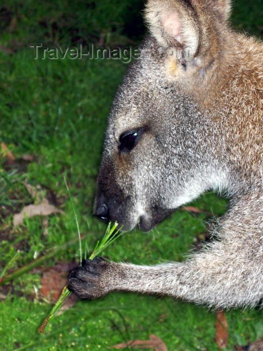 australia166: Australia - Grey kangaroo - close up (Victoria) - photo by Luca Dal Bo - (c) Travel-Images.com - Stock Photography agency - Image Bank