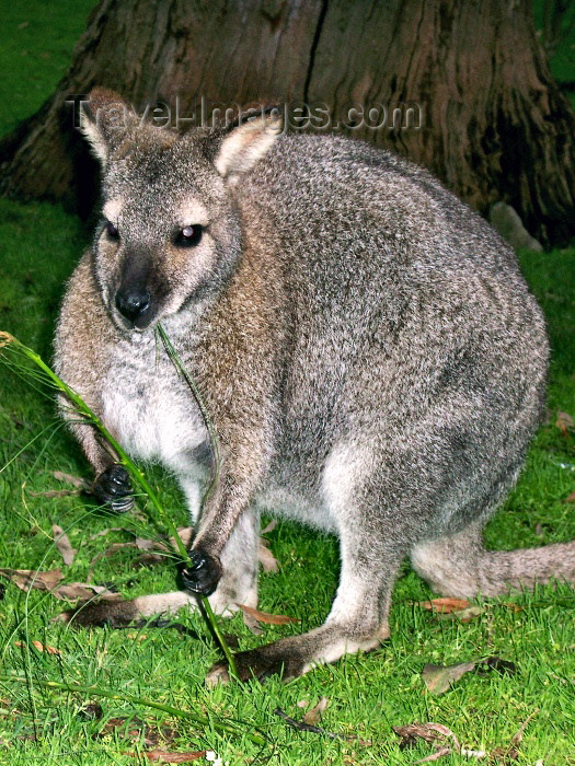 australia167: Australia - Grey kangaroo (Victoria) - photo by Luca Dal Bo - (c) Travel-Images.com - Stock Photography agency - Image Bank