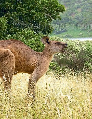 australia453: Australia - Blue Lake - Mount Gambier (SA): kangaroo - photo by Luca Dal Bo - (c) Travel-Images.com - Stock Photography agency - Image Bank