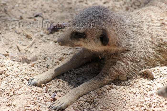 australia562: Australia - Adelaide (SA): meerkat enjoying the sun at the Zoo - Suricate suricatta - photo by R.Zafar - (c) Travel-Images.com - Stock Photography agency - Image Bank