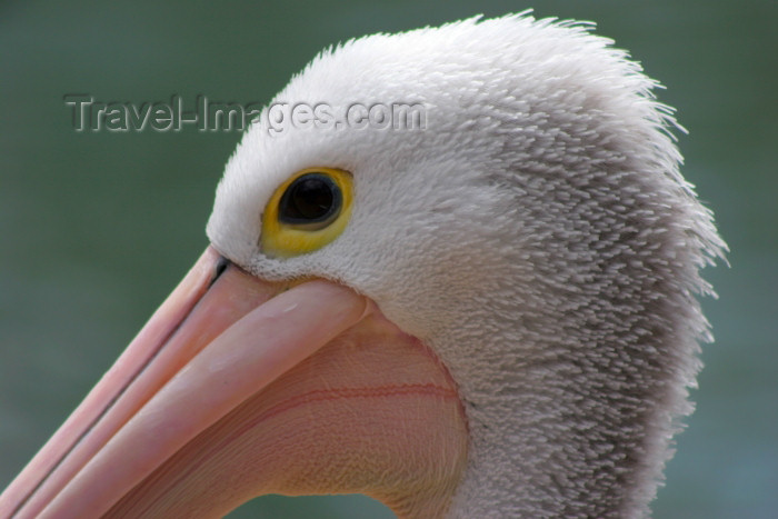 australia563: Australia - Adelaide Hills (SA): closeup of a Pelican head - Cleland Park - photo by R.Zafar - (c) Travel-Images.com - Stock Photography agency - Image Bank