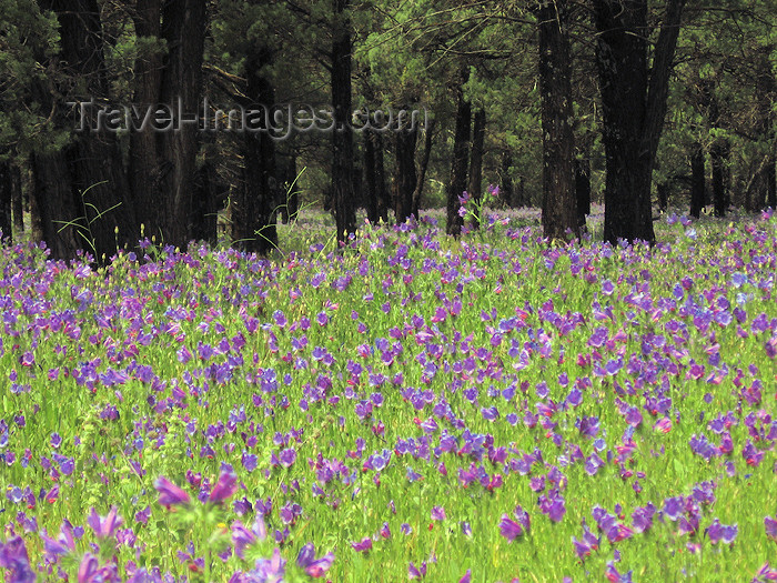 australia609: Australia - Flinders Ranges National Park - South Australia: field of purple flowers - photo by M.Samper - (c) Travel-Images.com - Stock Photography agency - Image Bank