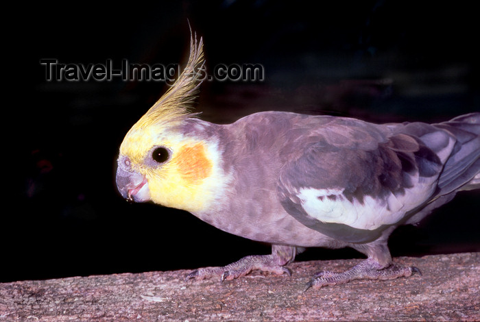 australia654: Australia - South Australia: Cockatiel, Nymphicus hollandicus (also known as the Quarrion and the Weero) - small Cockatoo - photo by G.Scheer - (c) Travel-Images.com - Stock Photography agency - Image Bank