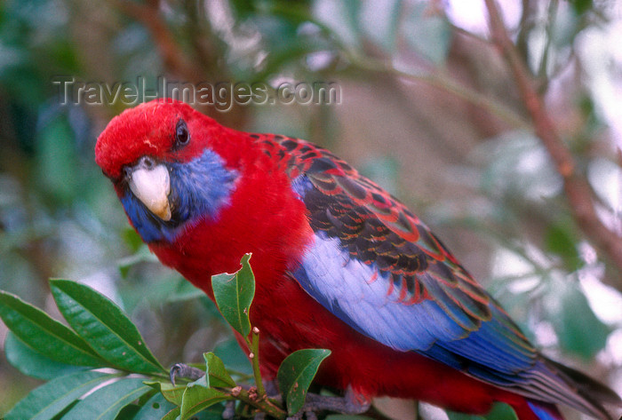 australia656: Australia - South Australia: Crimson Parrot - photo by G.Scheer - (c) Travel-Images.com - Stock Photography agency - Image Bank