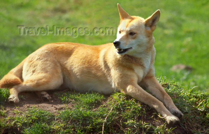 australia661: Australia - South Australia: Dingo or warrigal, Canis lupus dingo - wild dog - photo by G.Scheer - (c) Travel-Images.com - Stock Photography agency - Image Bank
