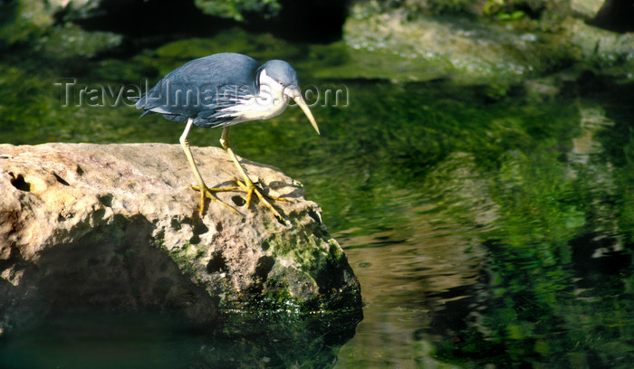 australia663: Australia - South Australia: Heron by the water - photo by G.Scheer - (c) Travel-Images.com - Stock Photography agency - Image Bank