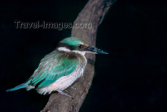 australia664: Australia - South Australia: Kingfisher - photo by G.Scheer - (c) Travel-Images.com - Stock Photography agency - Image Bank