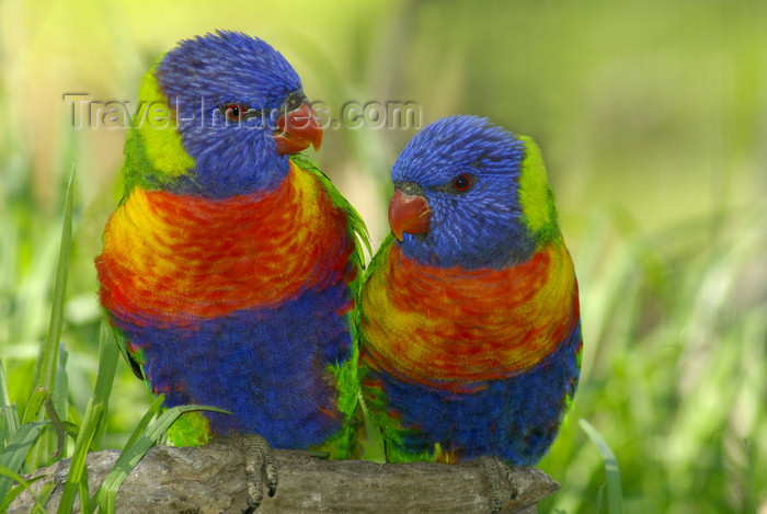 australia666: Australia - South Australia: Lorikeets - photo by G.Scheer - (c) Travel-Images.com - Stock Photography agency - Image Bank