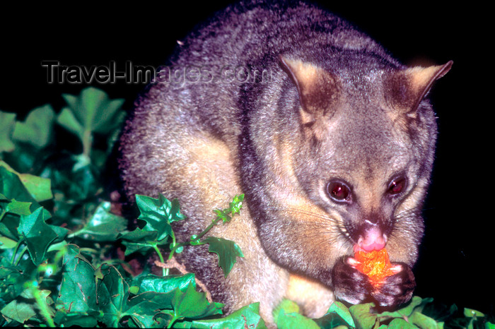 australia668: Australia - South Australia: Possum - photo by G.Scheer - (c) Travel-Images.com - Stock Photography agency - Image Bank