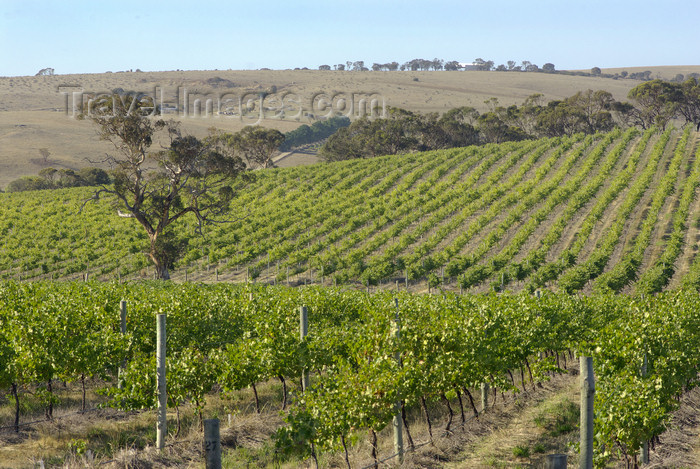australia671: Australia - Middleton Winery, South Australia: Vineyards - photo by G.Scheer - (c) Travel-Images.com - Stock Photography agency - Image Bank