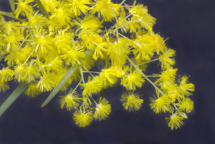 australia673: Australia - South Australia: Wattle Bush - photo by G.Scheer - (c) Travel-Images.com - Stock Photography agency - Image Bank