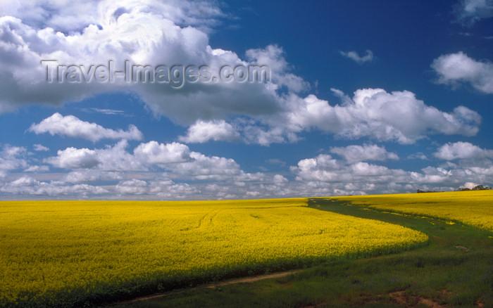 australia676: Australia - Truro, South Australia: Canola Field - Australian agriculture - photo by G.Scheer - (c) Travel-Images.com - Stock Photography agency - Image Bank