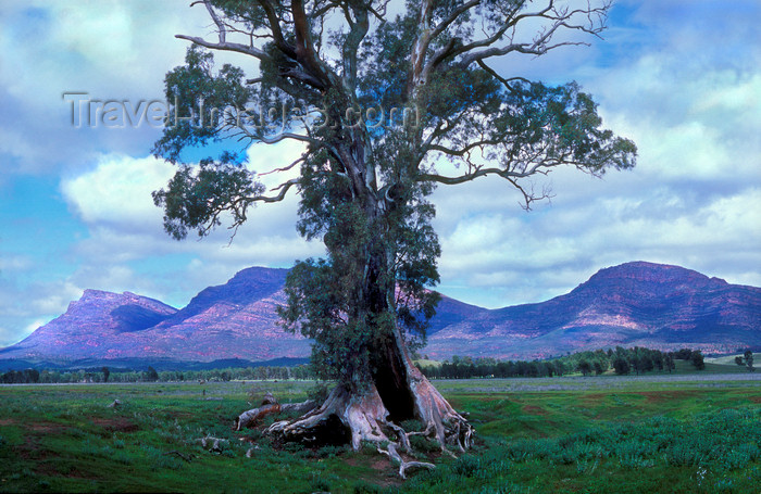 australia679: Australia - Flinders Ranges, South Australia: Caszneaux Tree - photo by G.Scheer - (c) Travel-Images.com - Stock Photography agency - Image Bank