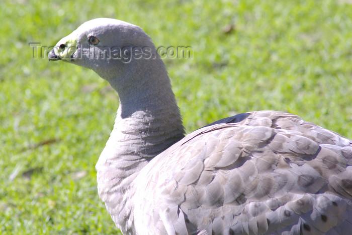 australia695: Australia - South Australia: Cape Barren Goose - Cereopsis novaehollandiae - photo by G.Scheer - (c) Travel-Images.com - Stock Photography agency - Image Bank