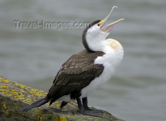 australia696: Australia - South Australia: Cormorant open-mouthed - photo by G.Scheer - (c) Travel-Images.com - Stock Photography agency - Image Bank