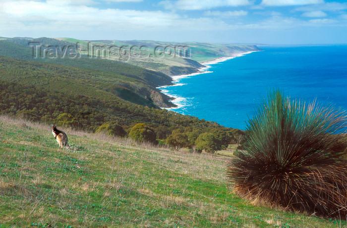 australia697: Australia - Deep Creek Coast, South Australia: Kangaroo - photo by G.Scheer - (c) Travel-Images.com - Stock Photography agency - Image Bank