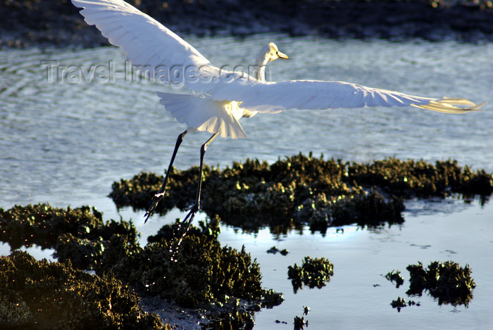 australia698: Australia - Egret, South Australia: spread wings - photo by G.Scheer - (c) Travel-Images.com - Stock Photography agency - Image Bank