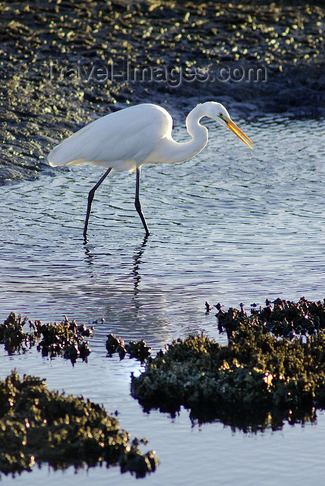 australia70: Australia - South Australia: White Egret hunting - photo by G.Scheer - (c) Travel-Images.com - Stock Photography agency - Image Bank