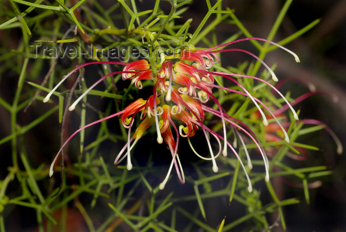australia702: Australia - South Australia: Grevillea Dielsian - photo by G.Scheer - (c) Travel-Images.com - Stock Photography agency - Image Bank