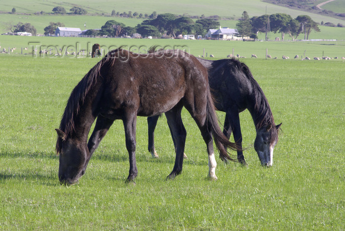 australia704: Australia - Fleurieu Peninsula, South Australia: Horses - photo by G.Scheer - (c) Travel-Images.com - Stock Photography agency - Image Bank