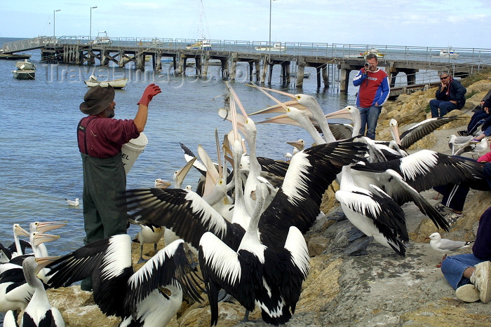 australia71: Kingscote - Kangaroo Island (SA): hand-feeding the pelicans - photo by R.Eime - (c) Travel-Images.com - Stock Photography agency - Image Bank