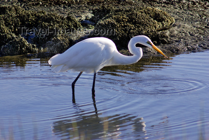 australia714: Australia - South Australia: White Egret - photo by G.Scheer - (c) Travel-Images.com - Stock Photography agency - Image Bank