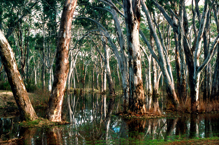 australia767: Grampians National Park, Victoria, Australia: trees in a swamp - eucalypti - photo by G.Scheer - (c) Travel-Images.com - Stock Photography agency - Image Bank