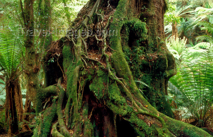 australia800: Tarra Bulga National Park, Victoria, Australia: forest tree - photo by G.Scheer - (c) Travel-Images.com - Stock Photography agency - Image Bank