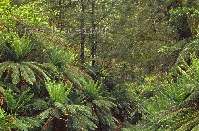australia801: Tarra Bulga National Park, Victoria, Australia: ferns and dense vegetation - photo by G.Scheer - (c) Travel-Images.com - Stock Photography agency - Image Bank