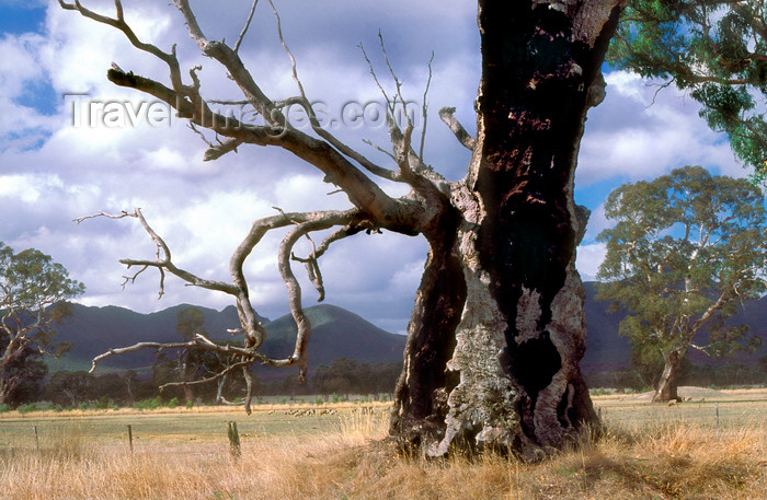 australia803: Grampians National Park, Victoria, Australia: Victoria Valley - dead tree - photo by G.Scheer - (c) Travel-Images.com - Stock Photography agency - Image Bank