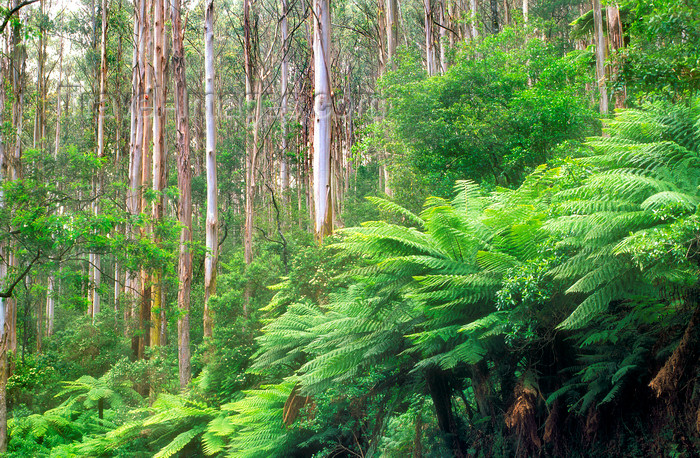 australia810: Yarra Ranges, Victoria, Australia: forest near Mt. Donna Bouang - photo by G.Scheer - (c) Travel-Images.com - Stock Photography agency - Image Bank