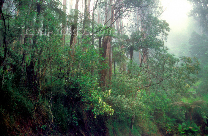 australia811: Yarra Ranges National Park, Victoria, Australia: rainforest - photo by G.Scheer - (c) Travel-Images.com - Stock Photography agency - Image Bank