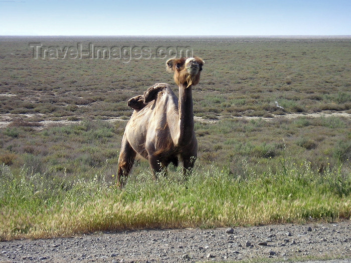 azer226: Azerbaijan - Salyan road - Salyan Rayonu: camel on the Kura plain - photo by F.MacLachlan - (c) Travel-Images.com - Stock Photography agency - Image Bank
