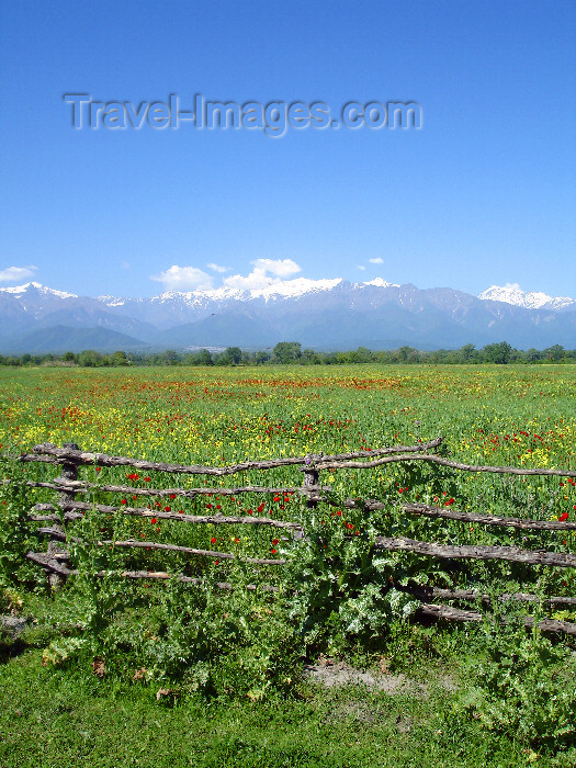 azer502: Qabala rayon, Azerbaijan: fields of red poppies, again with the snow topped Caucasus Mountains as a backdrop - road to Oguz - F.MacLachlan - (c) Travel-Images.com - Stock Photography agency - Image Bank