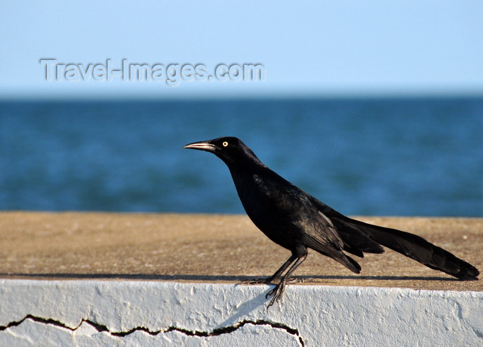 belize128: Belize City, Belize: black bird near Fort George lighthouse - photo by M.Torres - (c) Travel-Images.com - Stock Photography agency - Image Bank