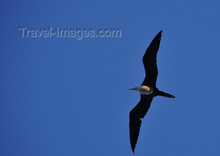 belize133: Belize City, Belize: female Magnificent Frigatebird in flight - Fregata magnificens - photo by M.Torres - (c) Travel-Images.com - Stock Photography agency - Image Bank