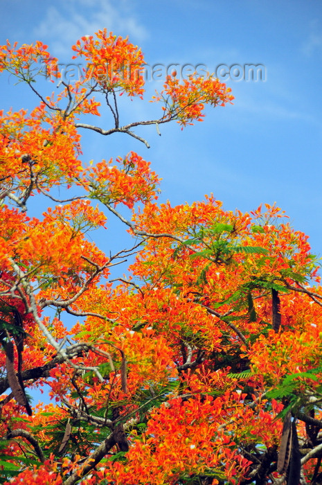 belize14: Belmopan, Cayo, Belize: Flamboyant tree - Royal Poinciana - Delonix regia - red Gulmohar flowers and seed pods - photo by M.Torres - (c) Travel-Images.com - Stock Photography agency - Image Bank