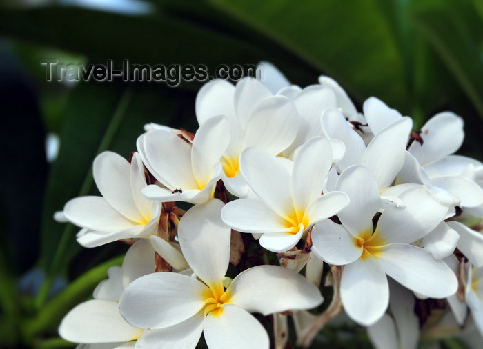belize140: Belize City, Belize: frangipani flowers on Regent st - plumeria - photo by M.Torres - (c) Travel-Images.com - Stock Photography agency - Image Bank