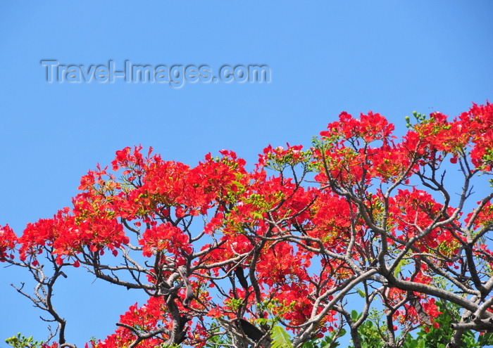 belize148: Belize City, Belize: Flamboyant tree at St. John's Cathedral - Royal Poinciana - Delonix regia - red Gulmohar flowers - photo by M.Torres - (c) Travel-Images.com - Stock Photography agency - Image Bank