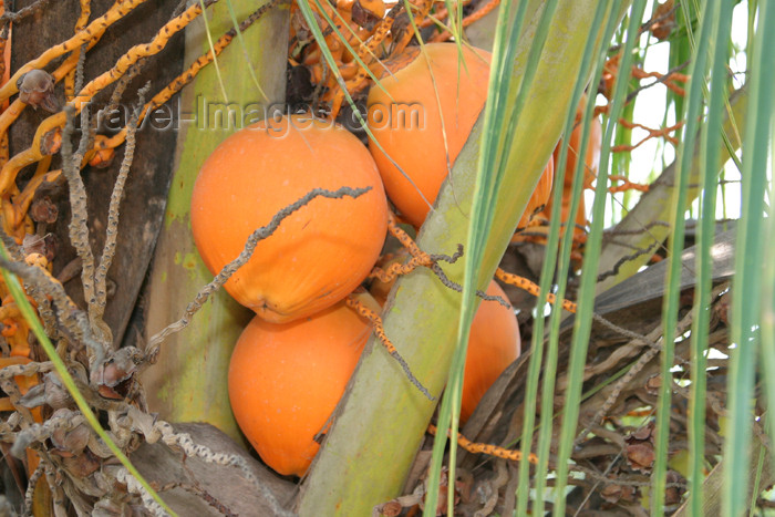 belize48: Belize - Caye Caulker: orange coconuts - photo by C.Palacio - (c) Travel-Images.com - Stock Photography agency - Image Bank